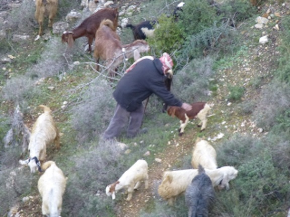 A Palestinian shepherd and his goats in Battir.