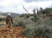 A resident of Qaryut surveys the damage to his trees.