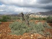 Qaryut olive trees 3