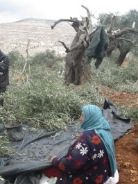 Collecting olives from the cut olive branches.