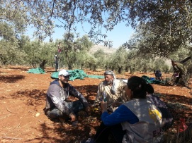 The difference in these images is striking. Here EAPPI volunteers spend an idyllic day helping farmers with their olive harvest. Photo EAPPI/R. Marques