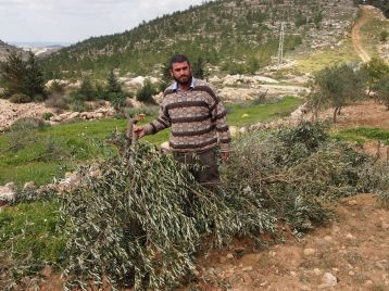 Raba Fanoun from Nahhalin village near Bethlehem shows his olive trees destroyed by Israeli settlers. Photo: Merita Saajos