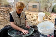 An EA helps clean and gather olives. Photo EAPPI/C. Jones.
