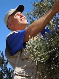 olive harvest susiya