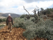 Again, in Qaryut, Israeli settlers cut the branches from 60 olive trees. Photo EAPPI.