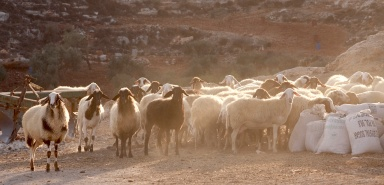 A flock of sheep in Yanoun. Photo EAPPI/A. Aguilar.
