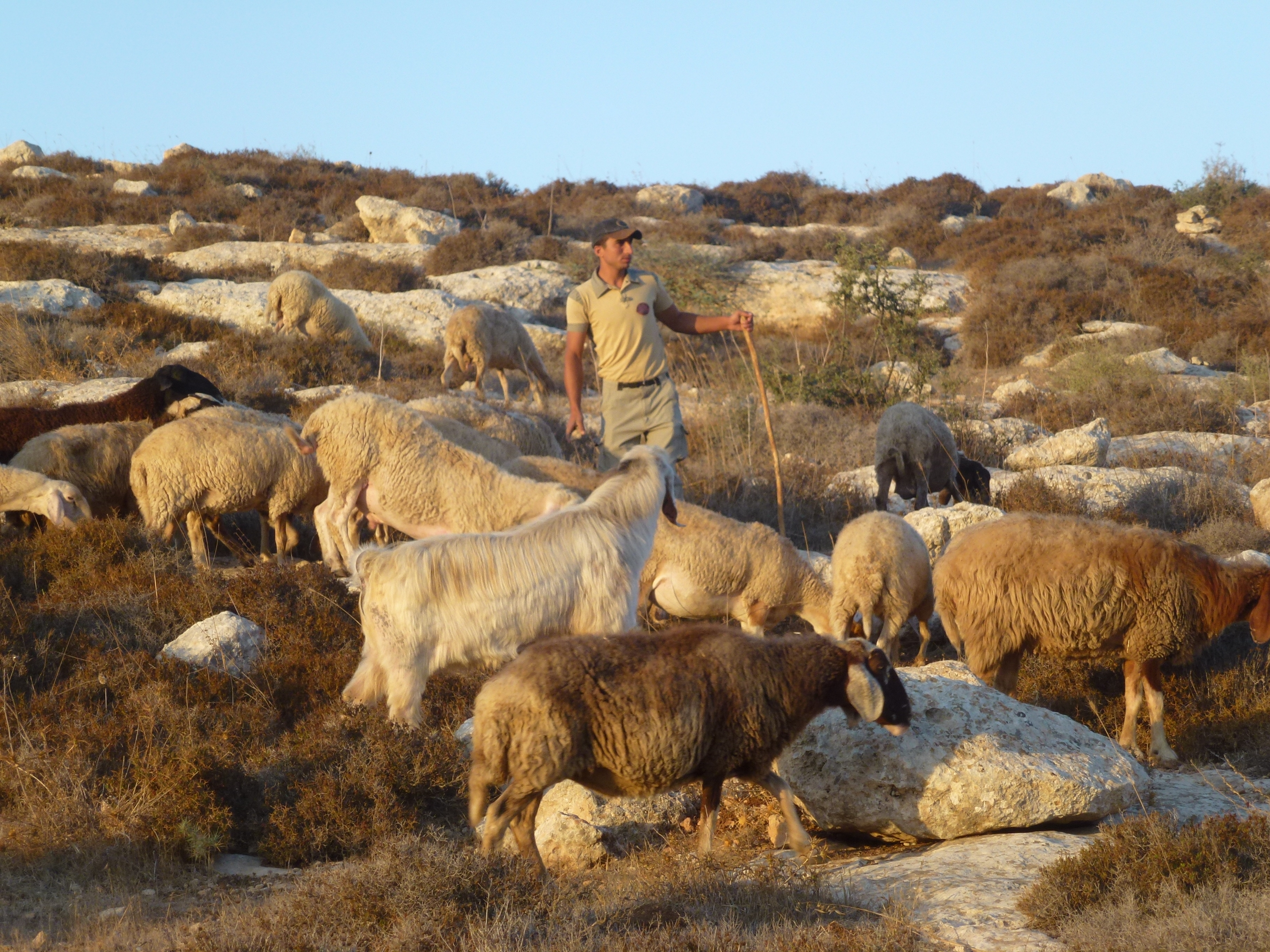 A Shepherd With His Sheep In Umm Al Ahmad Photo EAPPI S Masters