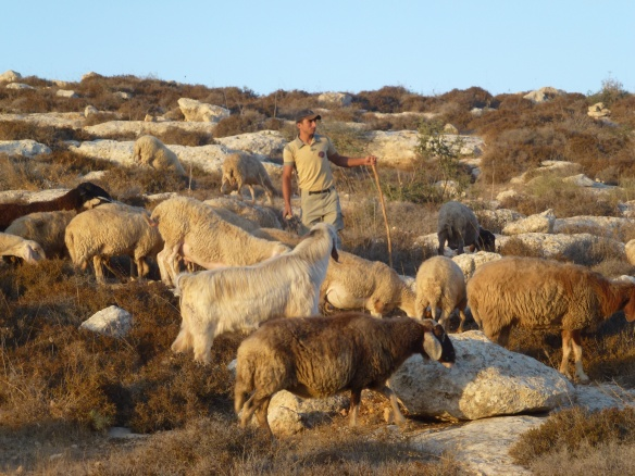 A shepherd with his sheep in Umm al Ahmad. Photo EAPPI/S. Masters.