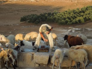 A shepherd gives his sheep water to drink from a well. Photo EAPPI/B. Rubenson.
