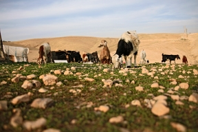The Jahalin bedouin used to farm around 400 sheep, which were their main source of income. Now that they don't have access to markets in Jerusalem, their herd of sheep is much smaller. Photo EAPPI/K. Ranta.