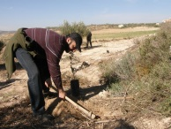 Tree planting is laborious work. EAs accompany farmers planting olive trees in Sebastiya. Photo EAPPI/T. Laakso.