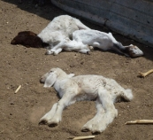 Lambs and goatkids are dying due to lack of water and staying under the burning sun. Photo EAPPI/I. Evje.