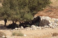 Israeli soldiers resting under a tree by Tawayel, 10 September 2014. Photo EAPPI/N. Ray.