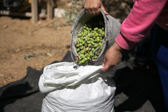 olive harvest Tel Rumeida