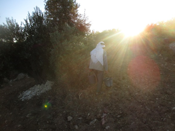 10.07.15. South Hebron Hills, Susiya, Watering olives at dawn, Photo EAPPI / P. Mercer