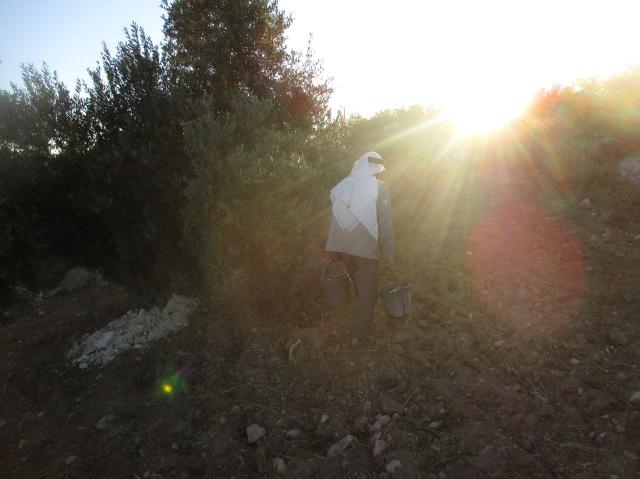 10.07.15. South Hebron Hills, Susiya, Watering olives at dawn, Photo EAPPI / P. Mercer