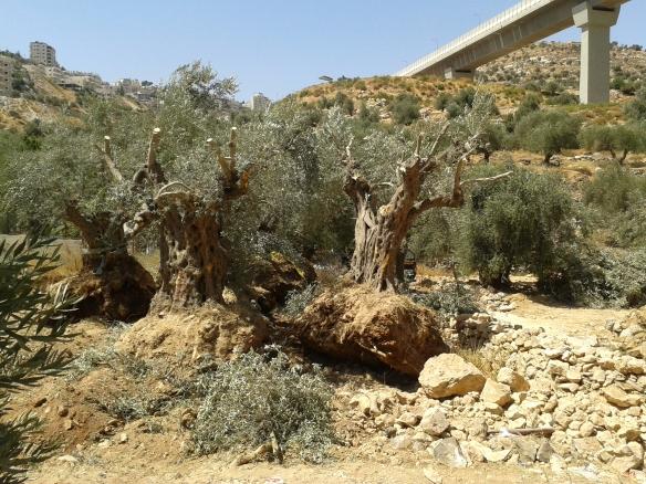 17.08.2015. Bethlehem.Wadi Ahmad. uprooted olive trees. EAPPI. K. Kozlak