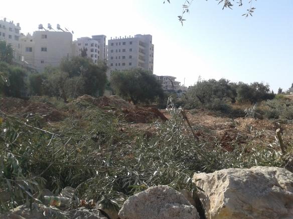 18.08.2015. Bethlehem. Bir Ouna. Uprooted land. EAPPI. K. Kozlak