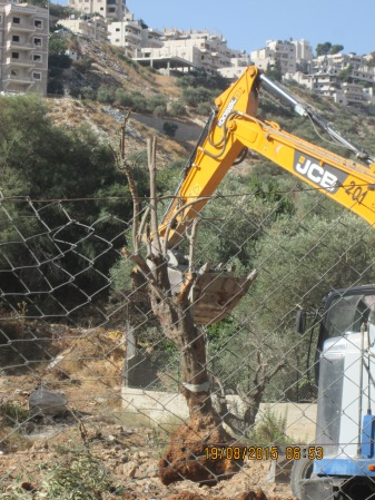 19.18.2015 Beit Ouna Olive uprooting EAPPI E ODriscoll