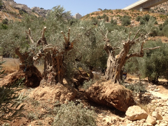 17.08.15 Bir Onah . 2000 year old olive trees uprooted, Photo EAPPI /T. Finstad