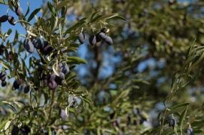 09.10.15, Nablus, Duma, Olive harvest, Black olives. E. Svanberg