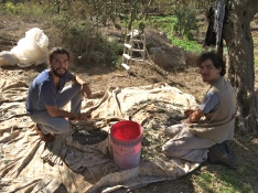 15.10.15, Bethlehem -Husan village, EA joins olive harvest. Photo EAPPI/I.F.