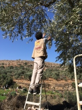 15.10.15, Bethlehem -Husan village, EA picking olives. Photo EAPPI/I.F.