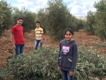 30.10.15, Bethlehem, children doing olive harvest near Tuqu'. Photo EAPPI/I.F.
