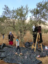9.10.15, Nablus, Olive harvest in Duma. Photo EAPPI/ J. Persdotter