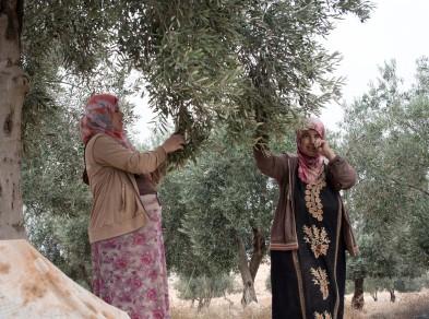 07.11.15 South Hebron Hills, Beit Yatir, Palestinian women olive Harvesting. Photo EAPPI/B.G. Saltnes