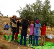 23.10.15 South Hebron Hills, Protective presence during olive harvest in Susiya Photo EAPPI/J. Toureille