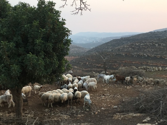 21.12.15. Yanoun. Sheep feeding from troughs.EAPPI G.Kerr-Sheppard.JPG