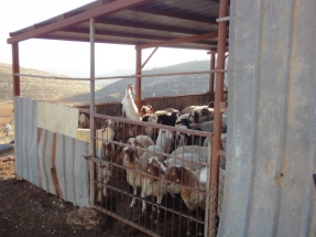 03.02.15. Yanoun. Sheep in the shed. EAPPI M.Mowe