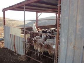 03.02.15. Yanoun. Sheep in the shed. EAPPI M.Mowe