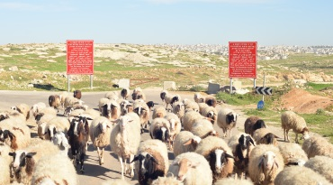 10.03.16, South Hebron Hills, Susiya Sheep and Area A Gate. Photo EAPPI/W. Ek-Uvelius