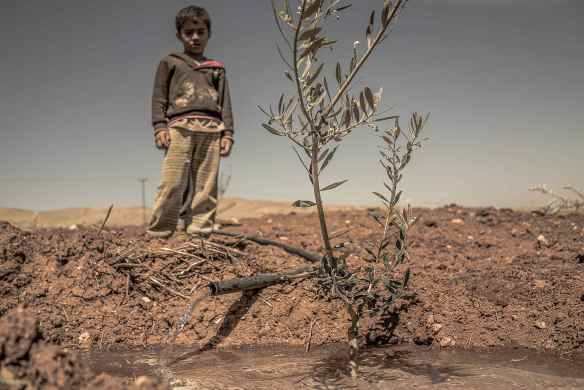 Photo 12 02.04.2016- Child oversees the watering of an Olive Tree branch in land under threat of settler confiscation close to al Hadidiya