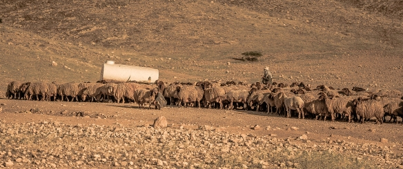 Photo 2 19042016-Al Hadidiya Shepherd and his flock gather around water tank
