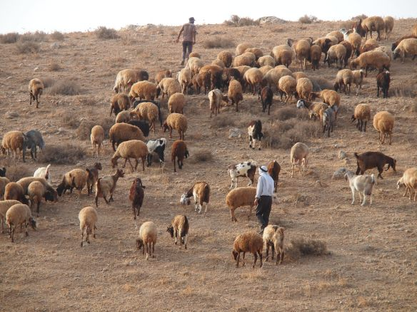 1. Khirbet Tell el Himma Shepherds with their flock. EAPPI/E. Mutschler. 22.09.2016