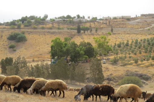 2. Khirbet Tell el Himma. Sheep close to outpost. EAPPI/I. Hernes. 22.09.2016,