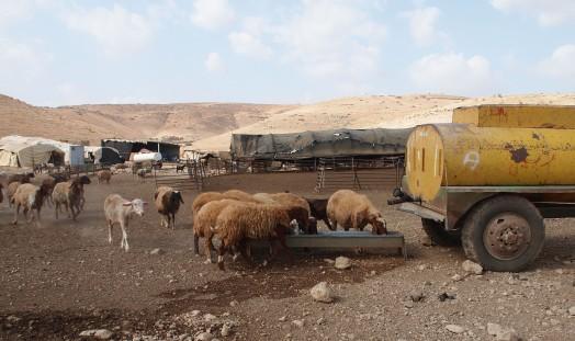 Khirbet Tell el Himma, Sheep drinking water. EAPPI/E. Mutschler. 22.09.2016